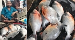 বাউফলে হাটবাজারে বিক্রি হচ্ছে নিষিদ্ধ পিনারহা মাছ